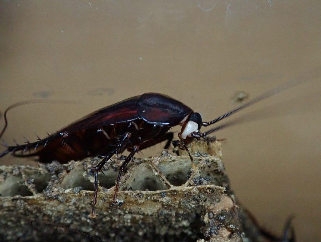 ゴキブリの子供に似た虫