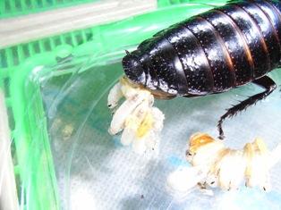 マダガスカル ゴキブリ
