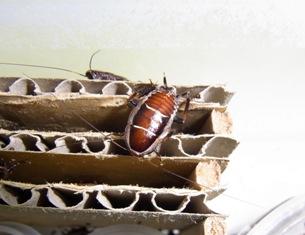 Blattellidae-spec.-Mauritius-1.jpg