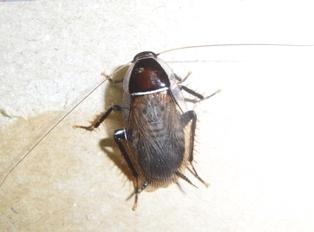 Blattellidae-spec.-Mauritius-8.jpg