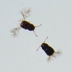 Ptenidium-sp-9.jpg