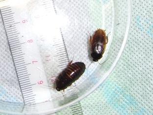 Pycnoscelus-femapterus.jpg