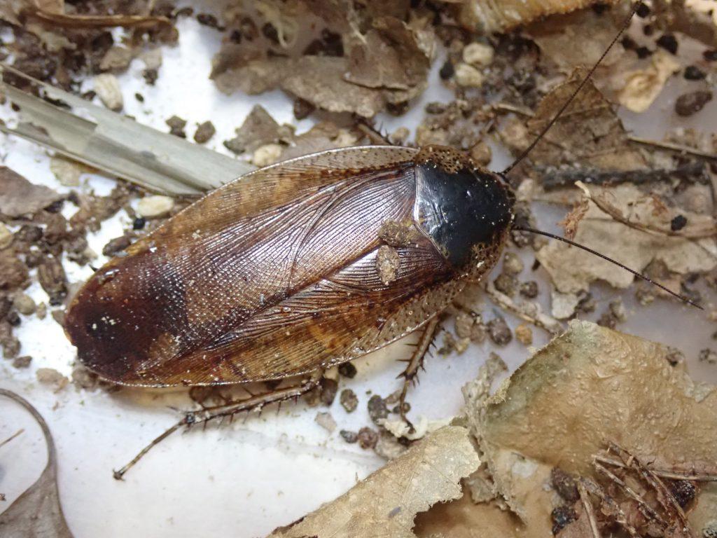 ゴキブリ 一匹だけ