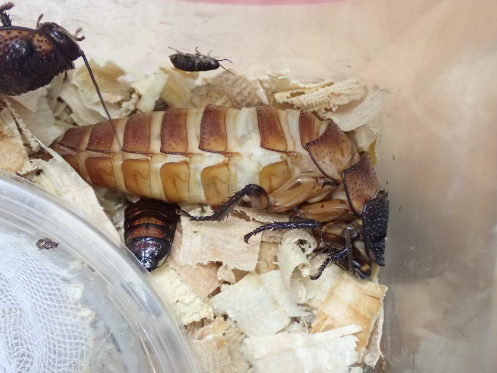 ゴキブリ 1 匹 いたら