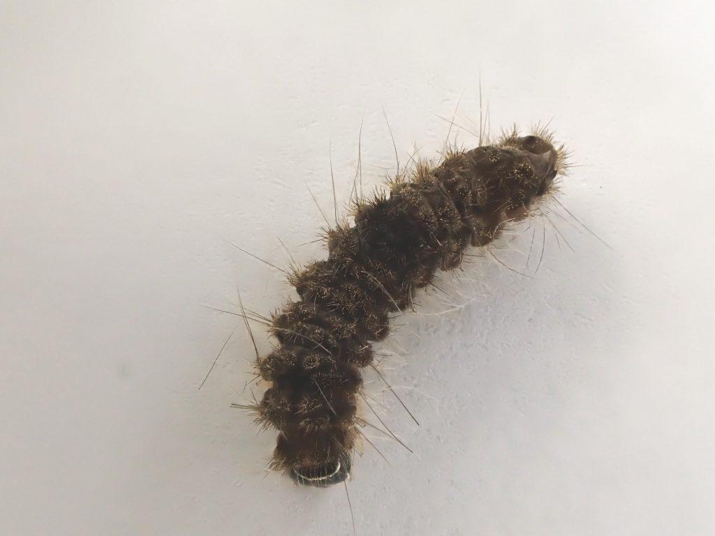 小さい ムカデ みたい な 虫